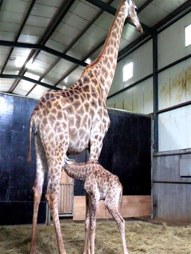 威海神雕山野生动物园第一只长颈鹿宝宝诞生