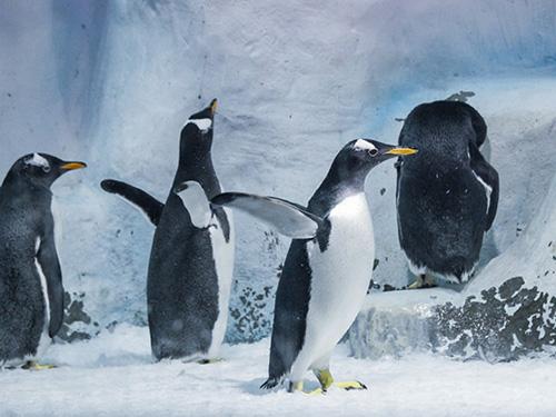 更美在活泼可爱的极地动物,不管是摇摇摆摆憨态十足的企鹅,还是身体圆