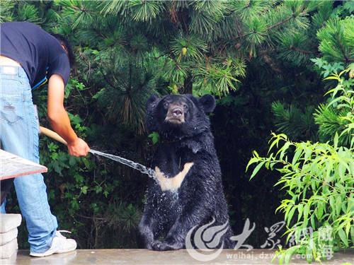 西霞口神雕山野生动物自然保护区内饲养员给黑熊冲澡