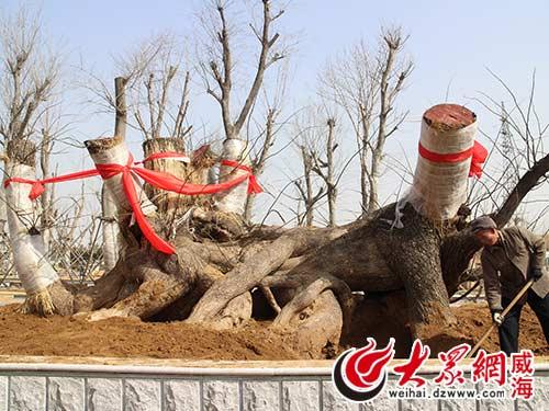 千年古槐树盆景 刘昌勇 摄
