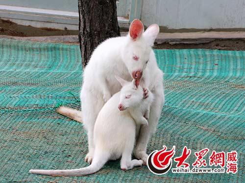 袋鼠宝宝享受妈妈的抚慰-威海西霞口神雕山野生动物园降生首只白袋鼠