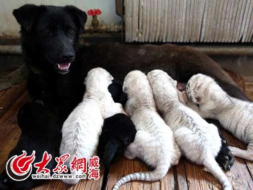 狗妈妈喂养小老虎