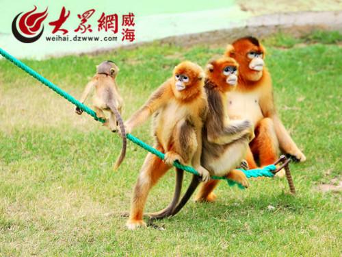 西霞口神雕山野生动物园金丝猴馆又添猴宝宝