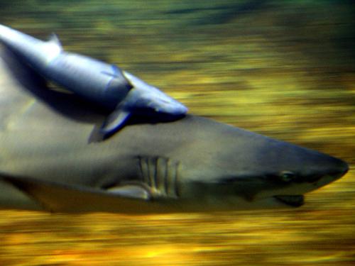 鲨鱼_神雕山野生动物园海驴岛